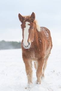 若い寒立馬の写真素材 [FYI00203352]