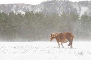 雪原に佇む寒立馬の写真素材 [FYI00203355]