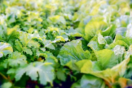 大根と白菜の葉の写真素材 [FYI00203718]