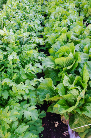 大根と白菜の畑の写真素材 [FYI00203741]