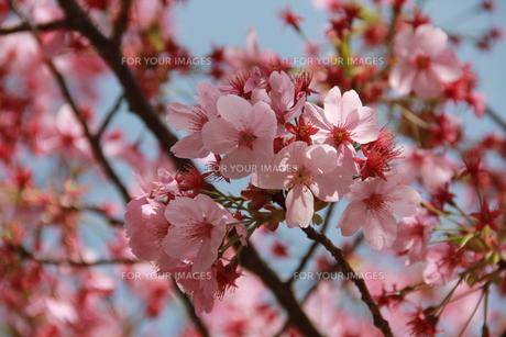 桜の写真素材 [FYI00203779]