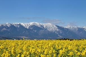 早春の比良山と菜の花畑の写真素材 [FYI00203814]