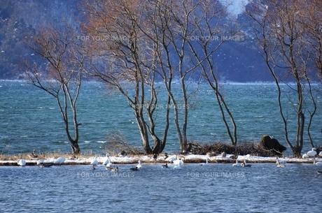 琵琶湖湖北で越冬するコハクチョウとカモの素材 [FYI00203867]