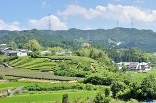 和束の茶畑の写真素材 [FYI00204027]