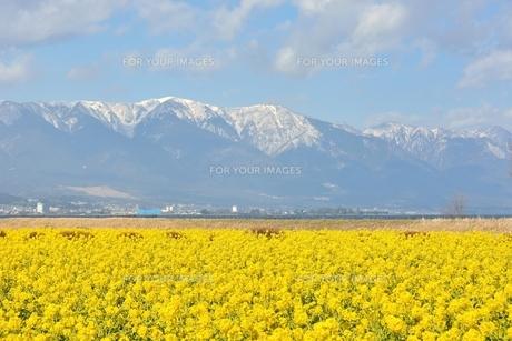 冬の菜の花と雪山の素材 [FYI00204203]