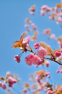 八重桜の写真素材 [FYI00204229]