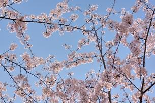 ソメイヨシノと青空の写真素材 [FYI00204266]