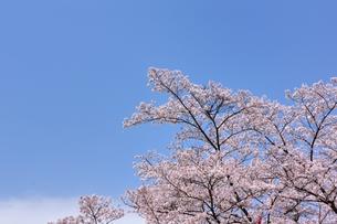 ソメイヨシノと青空のコピースペースの写真素材 [FYI00204268]