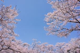 ソメイヨシノと青空のコピースペースの写真素材 [FYI00204269]