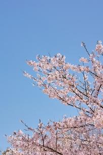 ソメイヨシノと青空のコピースペースの写真素材 [FYI00204273]