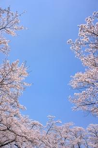 ソメイヨシノと青空のコピースペースの写真素材 [FYI00204274]