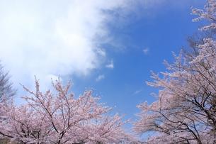ソメイヨシノと青空のコピースペースの写真素材 [FYI00204275]