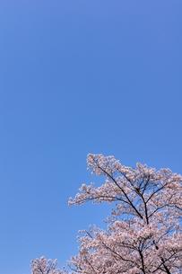 ソメイヨシノと青空のコピースペースの写真素材 [FYI00204278]