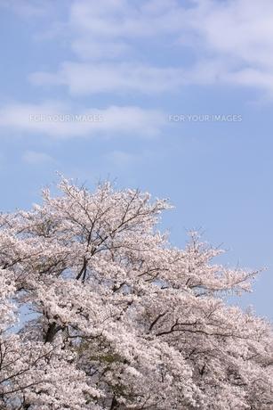 ソメイヨシノと青空のコピースペースの写真素材 [FYI00204281]