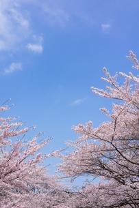 ソメイヨシノと青空のコピースペースの写真素材 [FYI00204282]