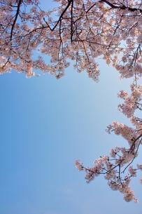 ソメイヨシノと青空のコピースペースの写真素材 [FYI00204286]