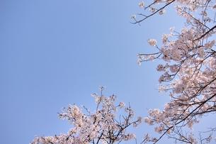 ソメイヨシノと青空のコピースペースの写真素材 [FYI00204290]