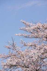 ソメイヨシノと青空のコピースペースの素材 [FYI00204296]
