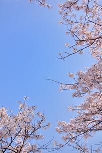 ソメイヨシノと青空のコピースペースの写真素材 [FYI00204297]