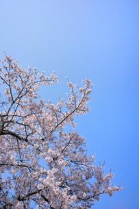 ソメイヨシノと青空のコピースペースの写真素材 [FYI00204298]