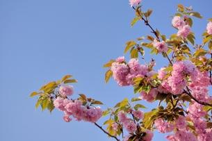 八重桜と青空の素材 [FYI00204311]