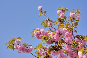 八重桜と青空の素材 [FYI00204361]