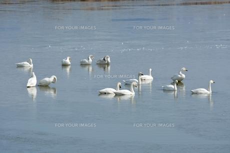 冬の琵琶湖に飛来するコハクチョウの素材 [FYI00204384]