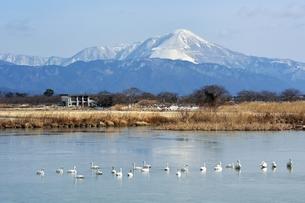 雪の伊吹山とコハクチョウのいる風景の素材 [FYI00204392]