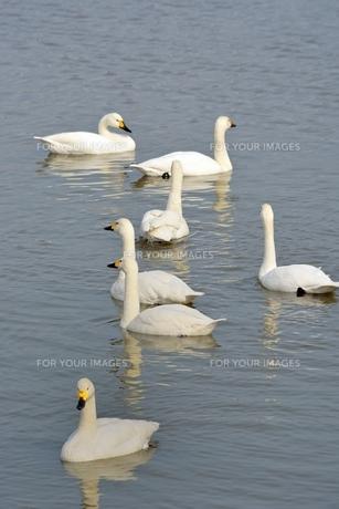 冬の琵琶湖に飛来するコハクチョウたちの素材 [FYI00204394]