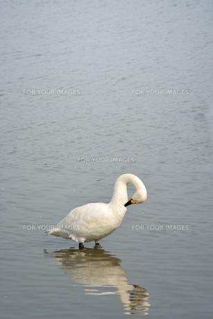 冬の琵琶湖に飛来するコハクチョウたちの素材 [FYI00204396]
