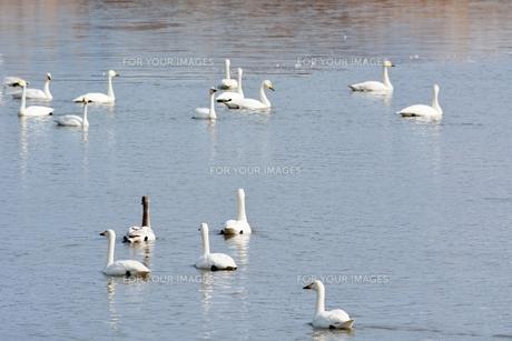 冬の琵琶湖に飛来するコハクチョウたちの素材 [FYI00204398]