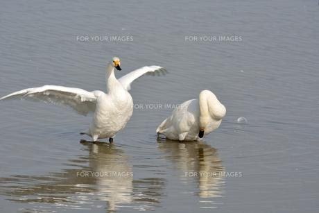 冬の琵琶湖に飛来するコハクチョウたちの素材 [FYI00204399]