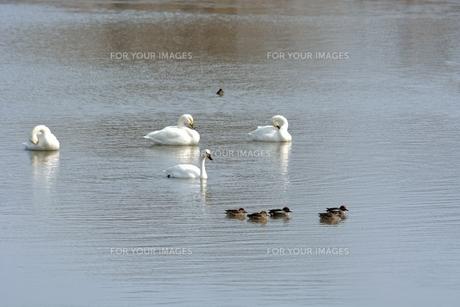 冬の琵琶湖に飛来するコハクチョウたちの素材 [FYI00204400]