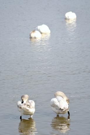 冬の琵琶湖に飛来するコハクチョウたちの素材 [FYI00204403]