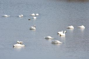 冬の琵琶湖に飛来するコハクチョウたちの素材 [FYI00204408]