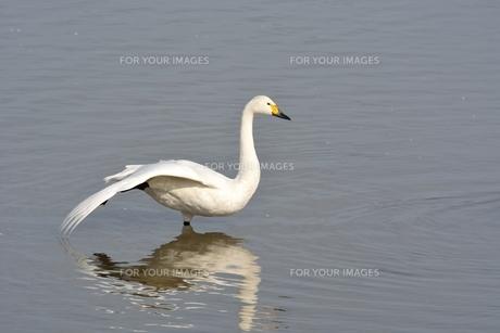 冬の琵琶湖に飛来するコハクチョウたちの素材 [FYI00204410]