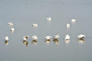 冬の琵琶湖に飛来するコハクチョウたちの素材 [FYI00204412]