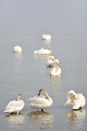 冬の琵琶湖に飛来するコハクチョウたちの素材 [FYI00204415]