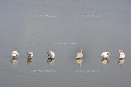 冬の琵琶湖に飛来するコハクチョウたちの素材 [FYI00204416]