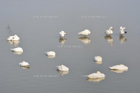 冬の琵琶湖に飛来するコハクチョウたちの素材 [FYI00204429]