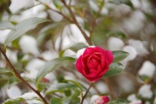 雪と山茶花の素材 [FYI00204455]