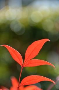 ナンテンの赤い葉の素材 [FYI00204518]