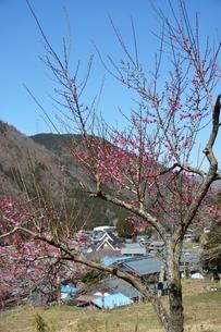 梅の花咲く山里の春の写真素材 [FYI00204633]