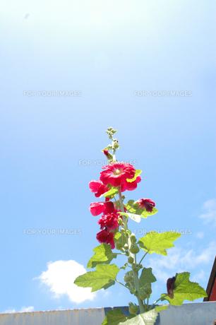 夏の花の写真素材 [FYI00204692]