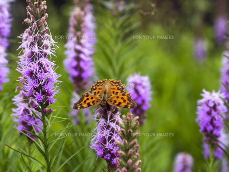 麒麟菊と黄立羽の写真素材 [FYI00204828]