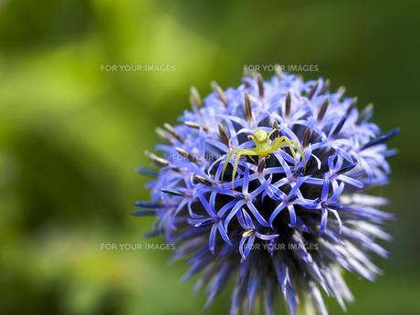 瑠璃玉薊の花蜘蛛の写真素材 [FYI00204841]