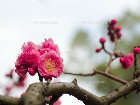 紅梅の写真素材 [FYI00204929]
