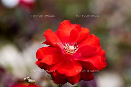 薔薇の素材 [FYI00204976]