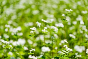 蕎麦の花の素材 [FYI00205048]