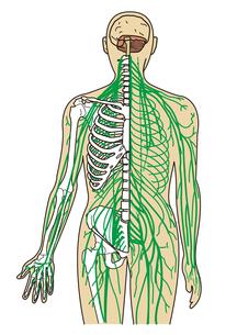人体神経経路(全身)の写真素材 [FYI00205325]